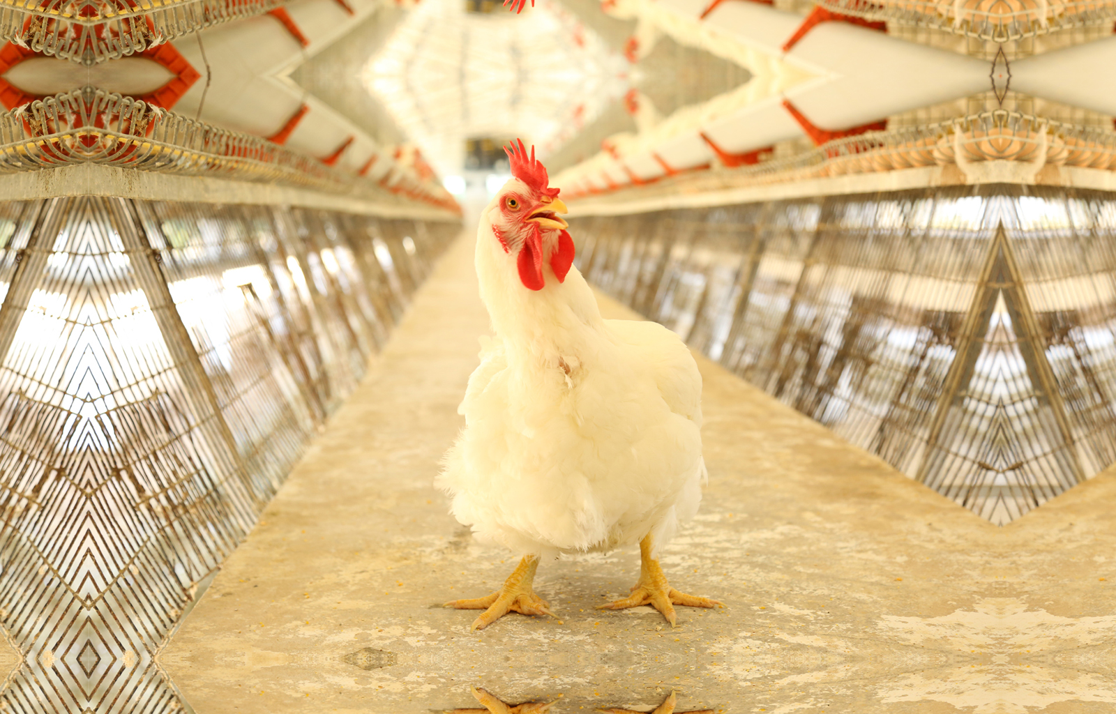 poultry-in-tirupur